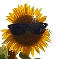 太陽の花 ひまわり~♪