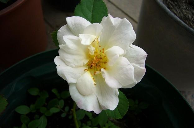 140724-4 白いバラ