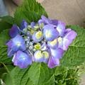 Photos: 140724-5 鉢植えのアジサイ