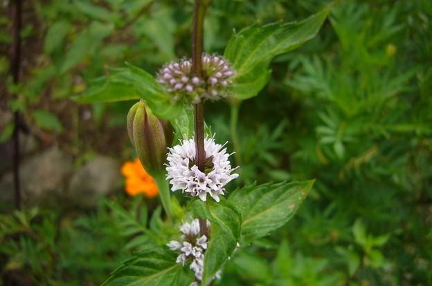 140904-3 ハッカの花