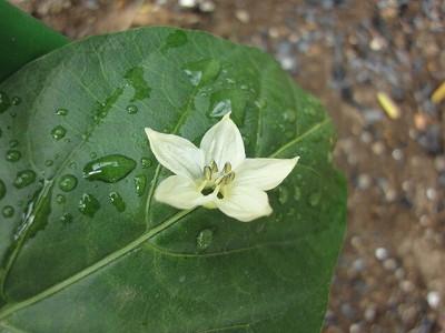 160609-5 ピーマンの花