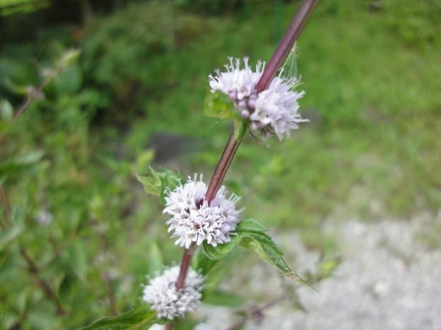 160807-8 ハッカの花