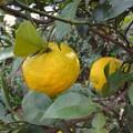 写真: 161021-2 柚子