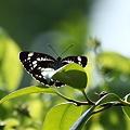 Photos: ホシミスジ ツバキの葉で翅を休めて^^