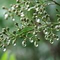 南天の緑の実と滴