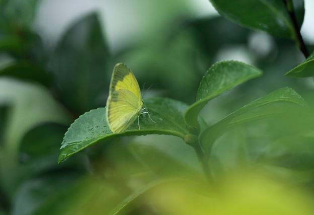 ツマグロキチョウさん 雨宿り
