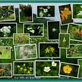 Photos: 立山 弥陀ヶ原と室堂の高山植物(蔵出し)