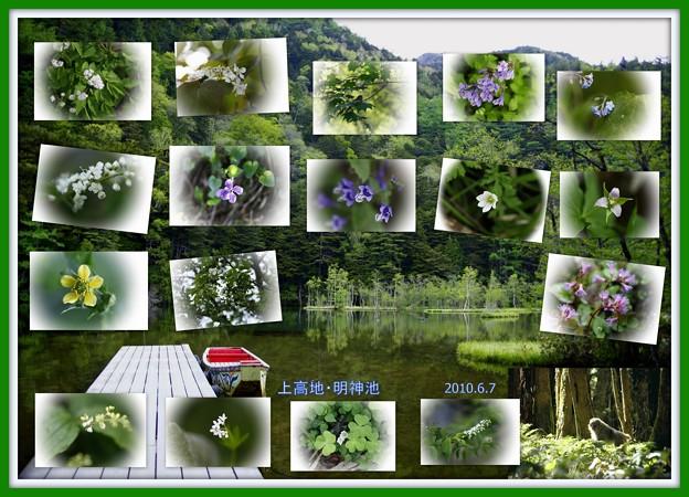 蔵出しの上高地  明神池への遊歩道で見かけた高山植物