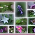 Photos: わが家の8月の花(4)-2