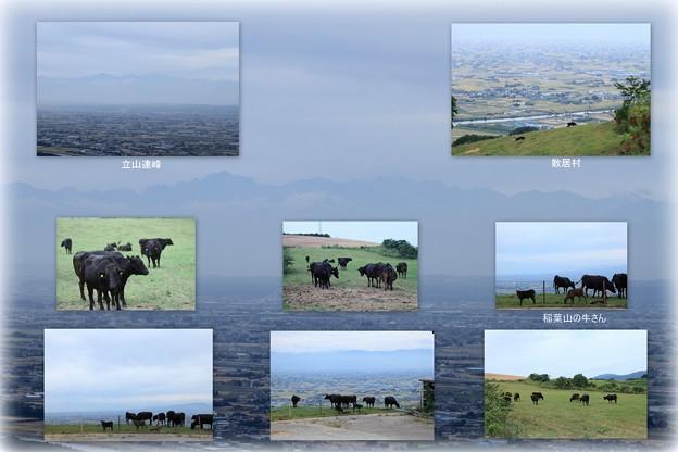 稲葉山の牛さん  立山連峰を背景に
