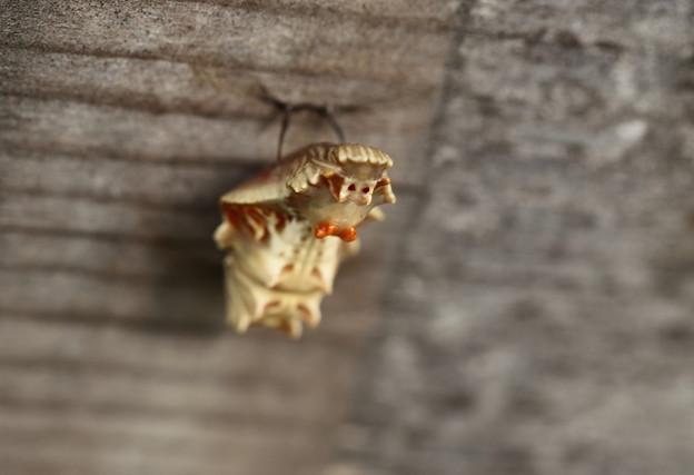 ジャコウアゲハの幼虫(蛹)