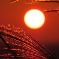 夕陽とススキ(3)