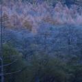 カラマツの樹氷と立ち枯れの木  上高地