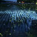 蛍の光跡と田んぼ 合成