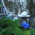 紫陽花と白鳥(1)