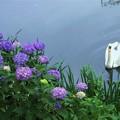 Photos: 紫陽花と白鳥(2)
