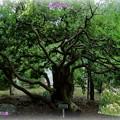 健民公園のシンボルツリー トベラとアオスジアゲハ