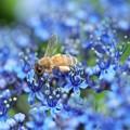 紫陽花の海にミツバチさん(1)