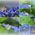 紫陽花 ミツバチとスジグロシロチョウ