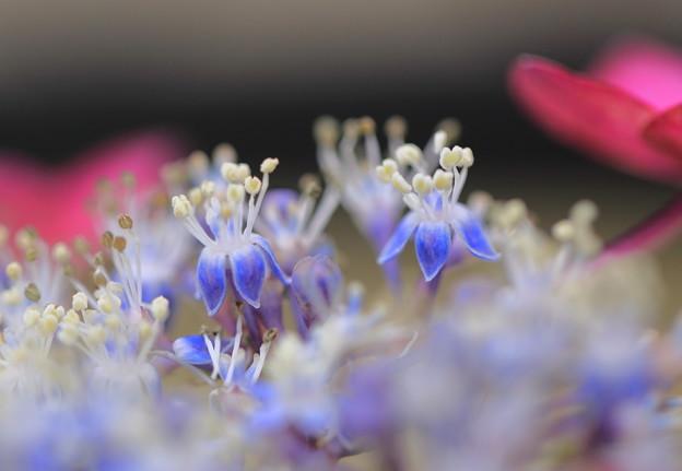 Photos: 紫陽花の両性花が開花