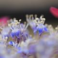 紫陽花の両性花が開花