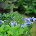 Photos: 庭のヤマアジサイ・城ヶ崎