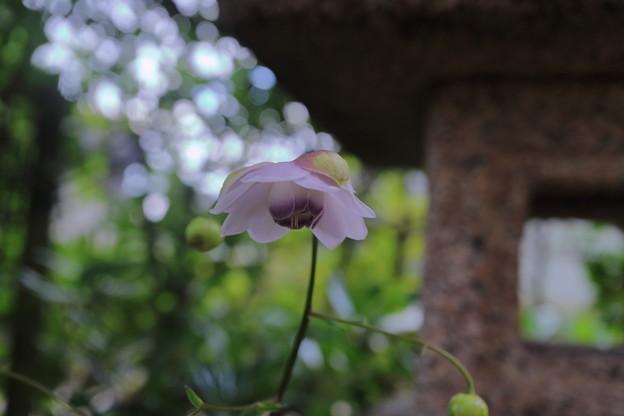 レンゲショウマが開花(2)