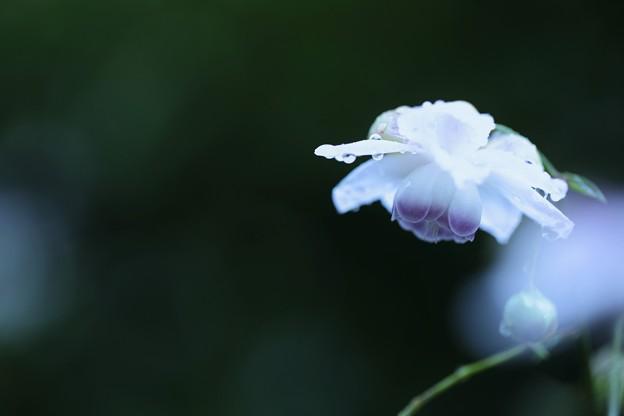 雨のレンゲショウマ(2)