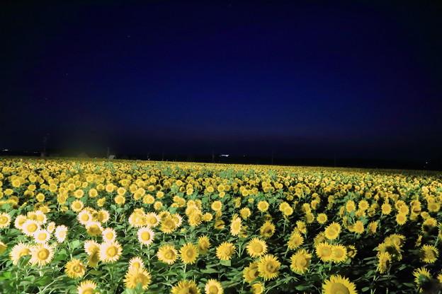 夜のひまわり村 35万本 河北潟干拓地