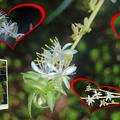 オリヅルランのランナーと花