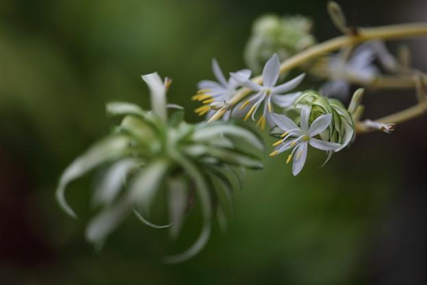 オリヅルラン 子株と花