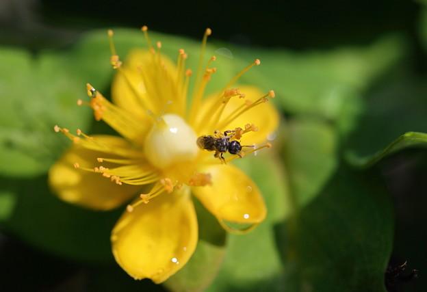 ヒペリカム・アンドロサエマム 小さな蜂付き