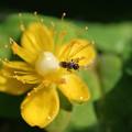 Photos: ヒペリカム・アンドロサエマム 小さな蜂付き