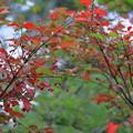 ニシキギ?の紅葉と実