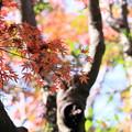 Photos: 円覚寺 モミジの紅葉
