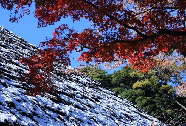モミジと茅葺屋根の雪