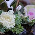 写真: ミニミニ葉牡丹と十両(ヤブコウジ) ツルの小物