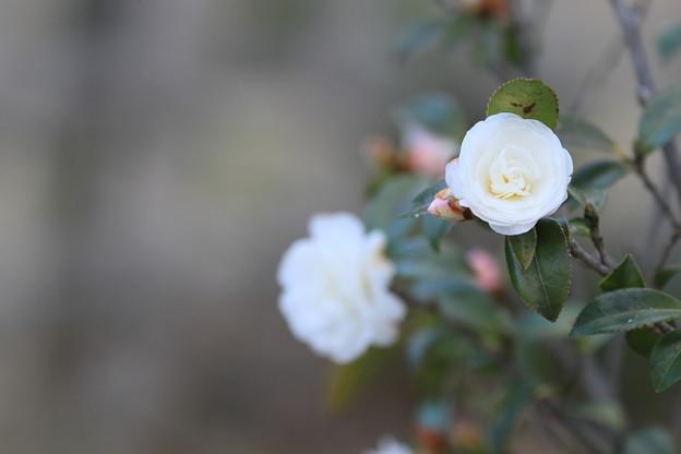 白い山茶花 玉泉院丸庭園