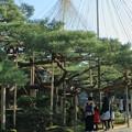 写真: お正月の兼六園 松 日本武尊の下で