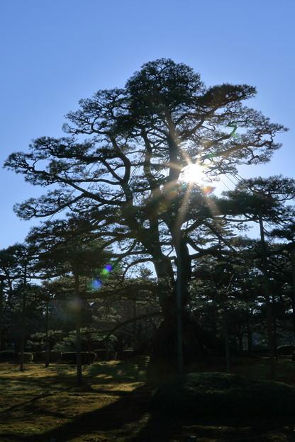 写真: お正月の兼六園 根上松