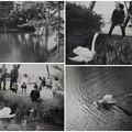 4~50年前の兼六園 白鳥