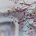 写真: 紅梅(2) 尾山神社 神門