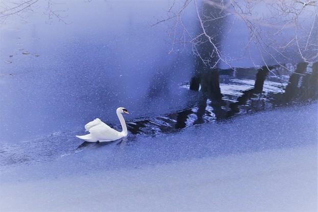 白鳥 薄氷の中を行く