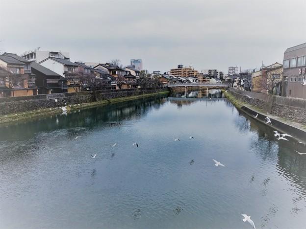 浅野川とユリカモメ