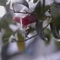 雪・椿(1)