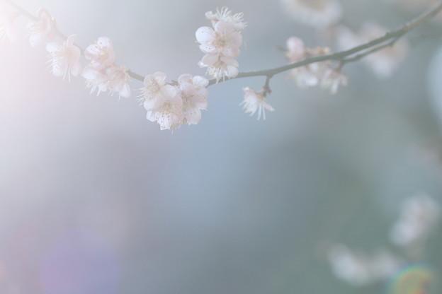 尾山神社 梅(1)