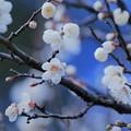 写真: 白梅(4)