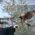写真: 鷹匠と鷹