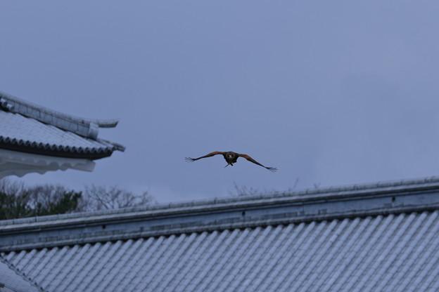 金沢城と鷹 (2)