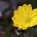 福寿草が開花